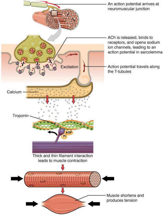 Muscle clipart muscle contraction. Fiber and relaxation