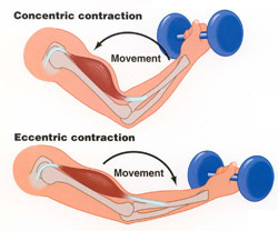 Muscle clipart muscle contraction. Groups mythoughtlane concentric eccentric