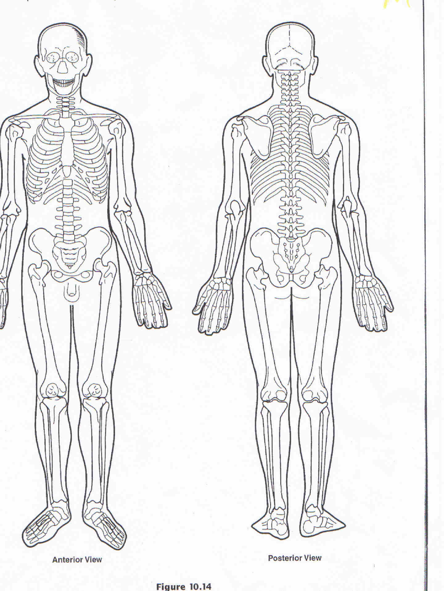 Muscle clipart unlabeled. Human body diagram blank
