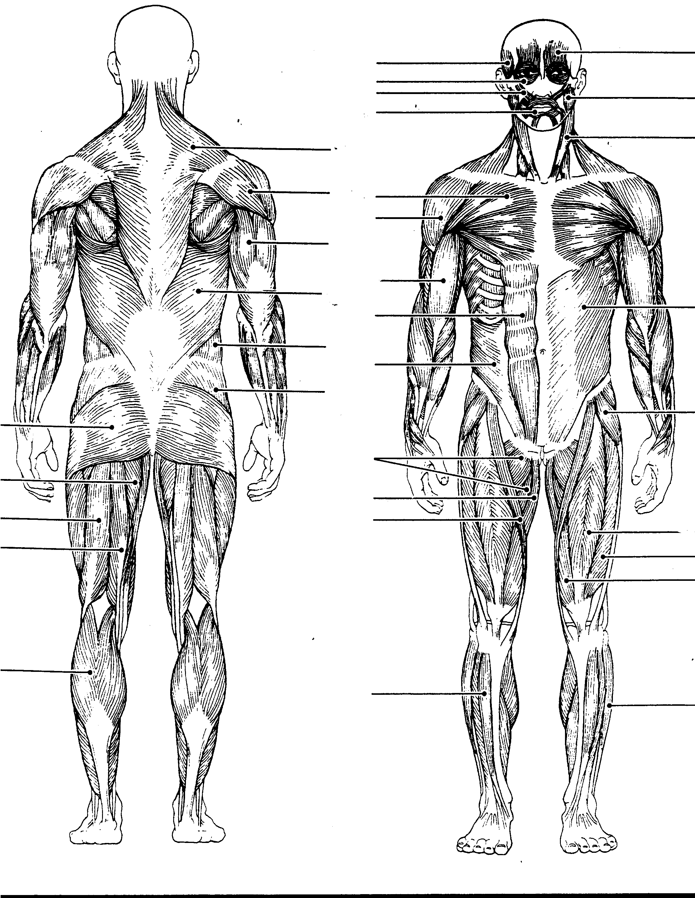 Muscle clipart unlabeled. Blank sheet for muscles