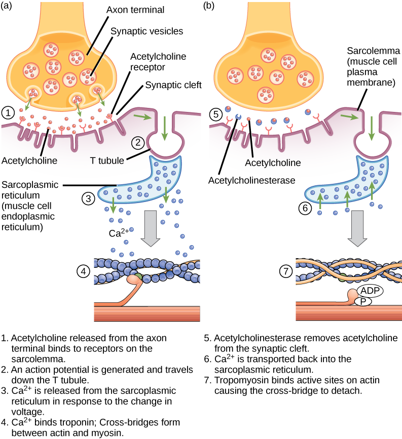 Muscle contraction png. Neural stimulation of biology