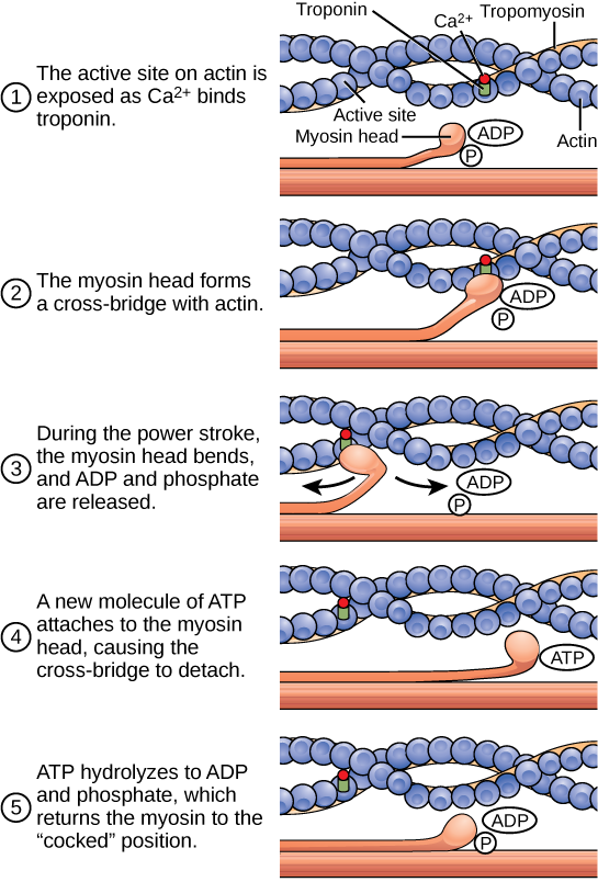 sarcomere drawing arrangement