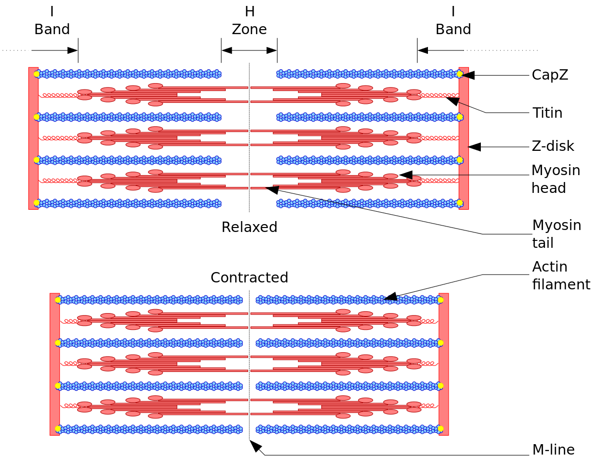 sarcomere drawing model a