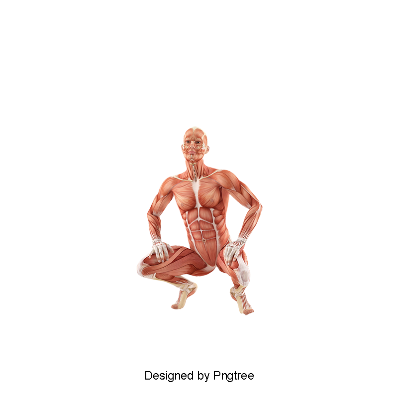 Muscle body png. Hd human tissue medical