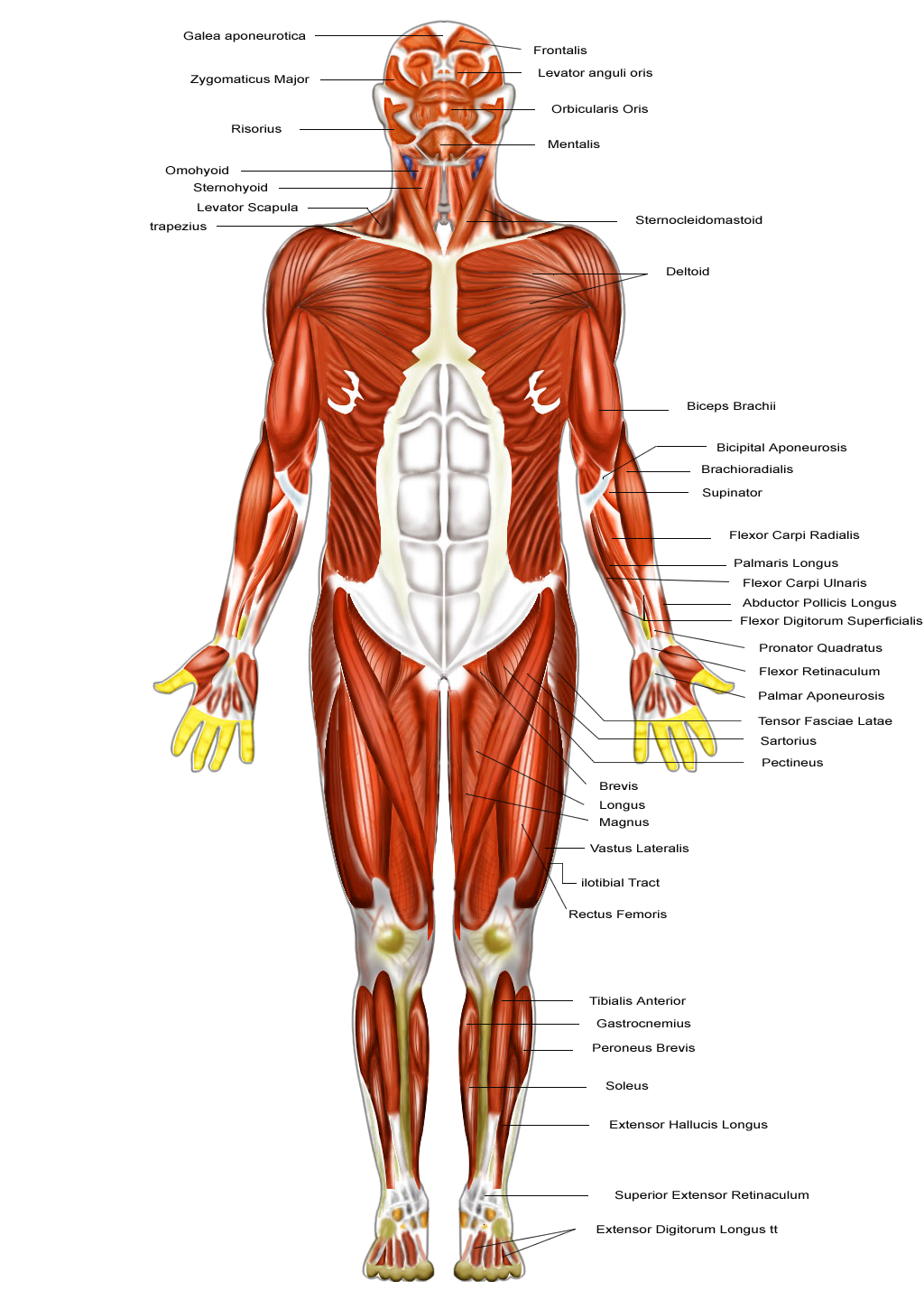 Muscle movement png. Muscular system desimd