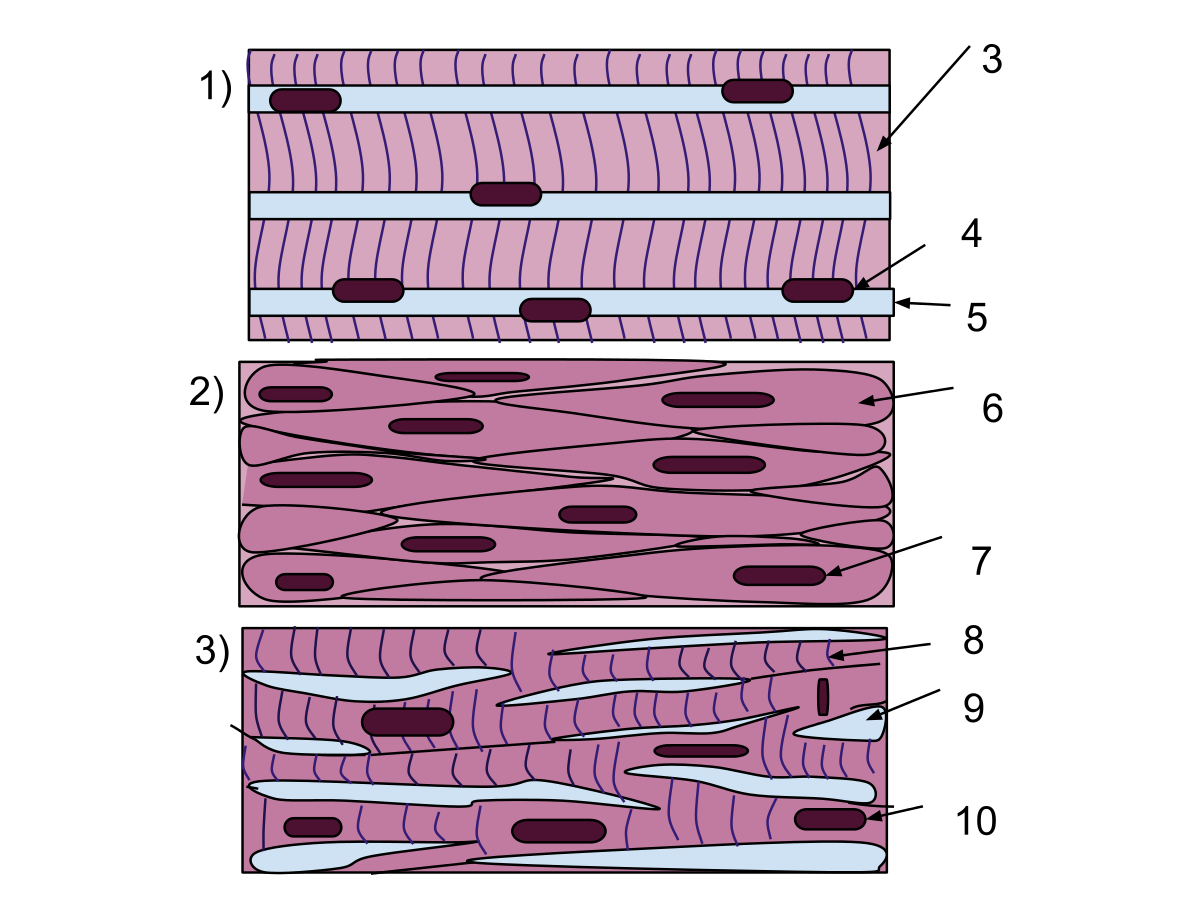 Sarcomere drawing. Muscle tissue wikipedia