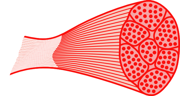 Muscle tissue png. Clipart