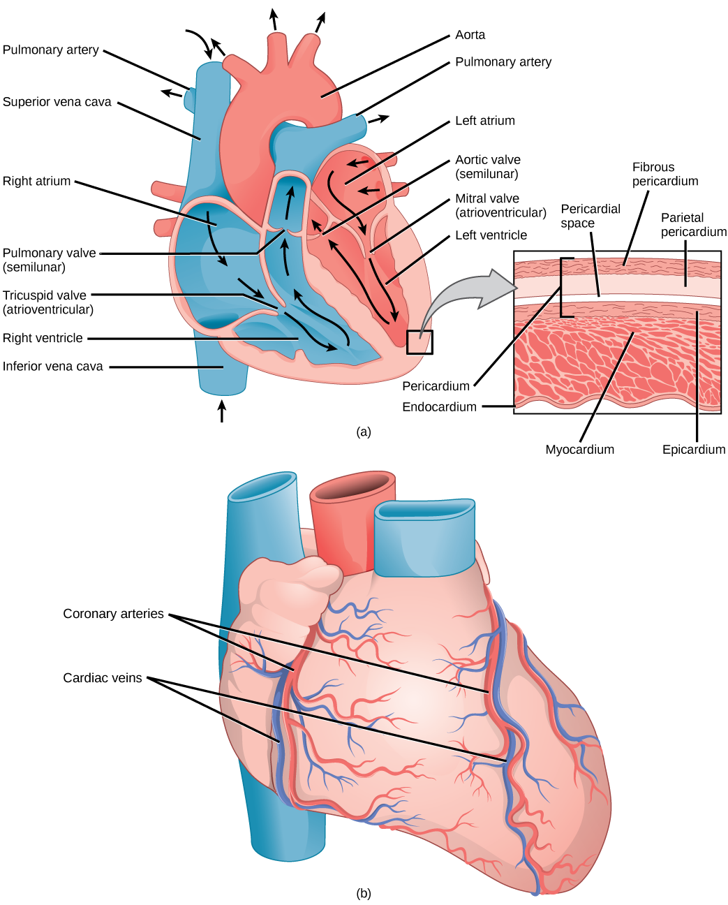 Annotated drawing heart.  mammalian and blood image