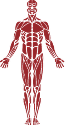 Muscle clipart. Human the arts image