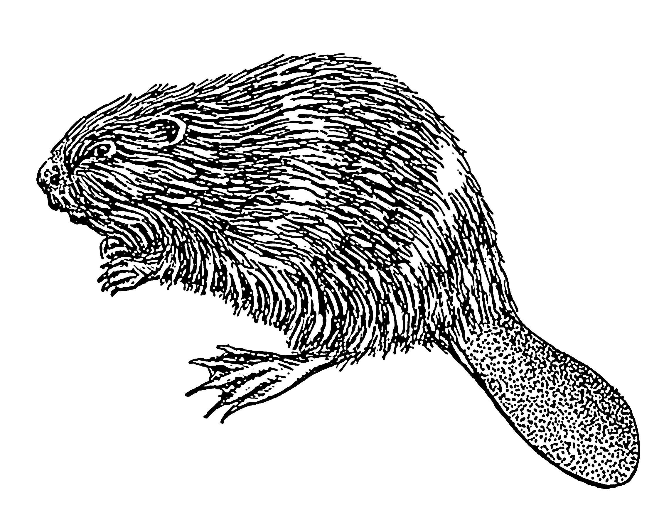 Muskrat drawing white. File beaver psf retouched