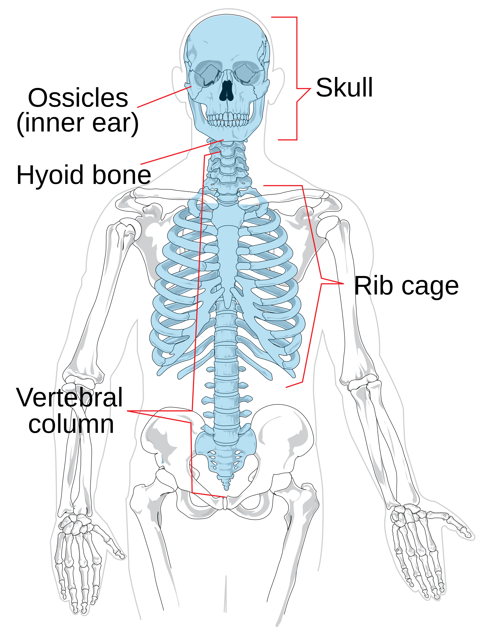 Naga drawing skeletal system. File axial skeleton diagram