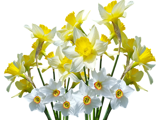 Wiosna daffodils osterglocken pinterest. Narcissus drawing svg black and white library
