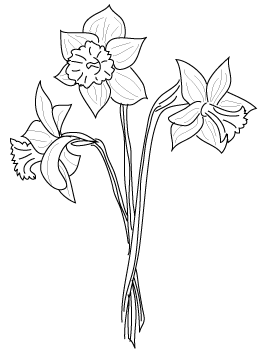 Narcissus drawing. Daffodil flower at getdrawings