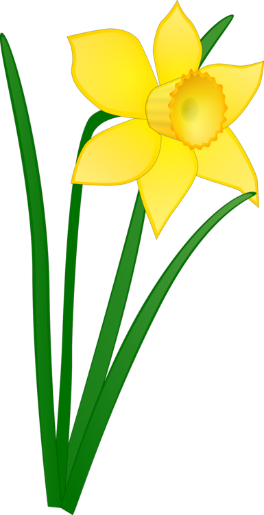 Daffodil download flower free. Narcissus drawing banner stock