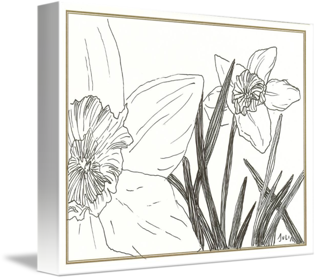 Narcissus drawing pen and ink. Daffodils at my front