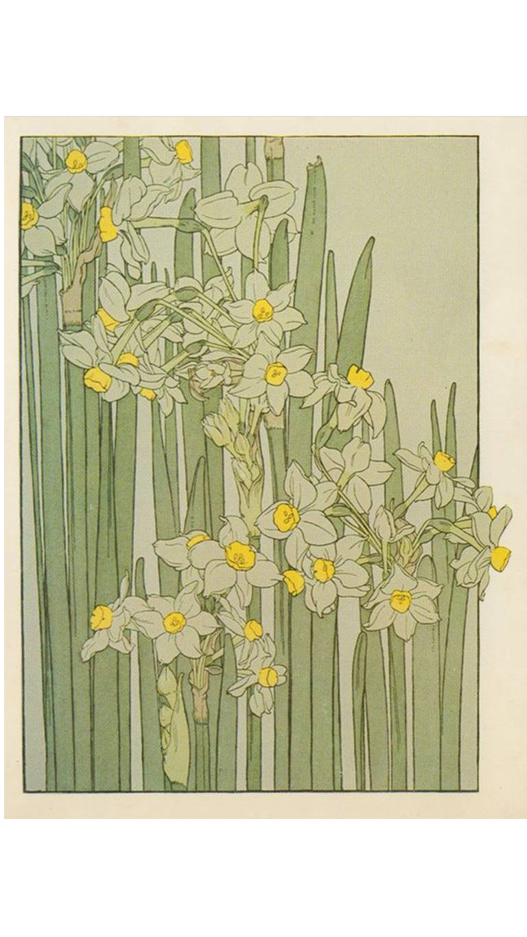 Narcissus drawing watercolour. Flower studies by j
