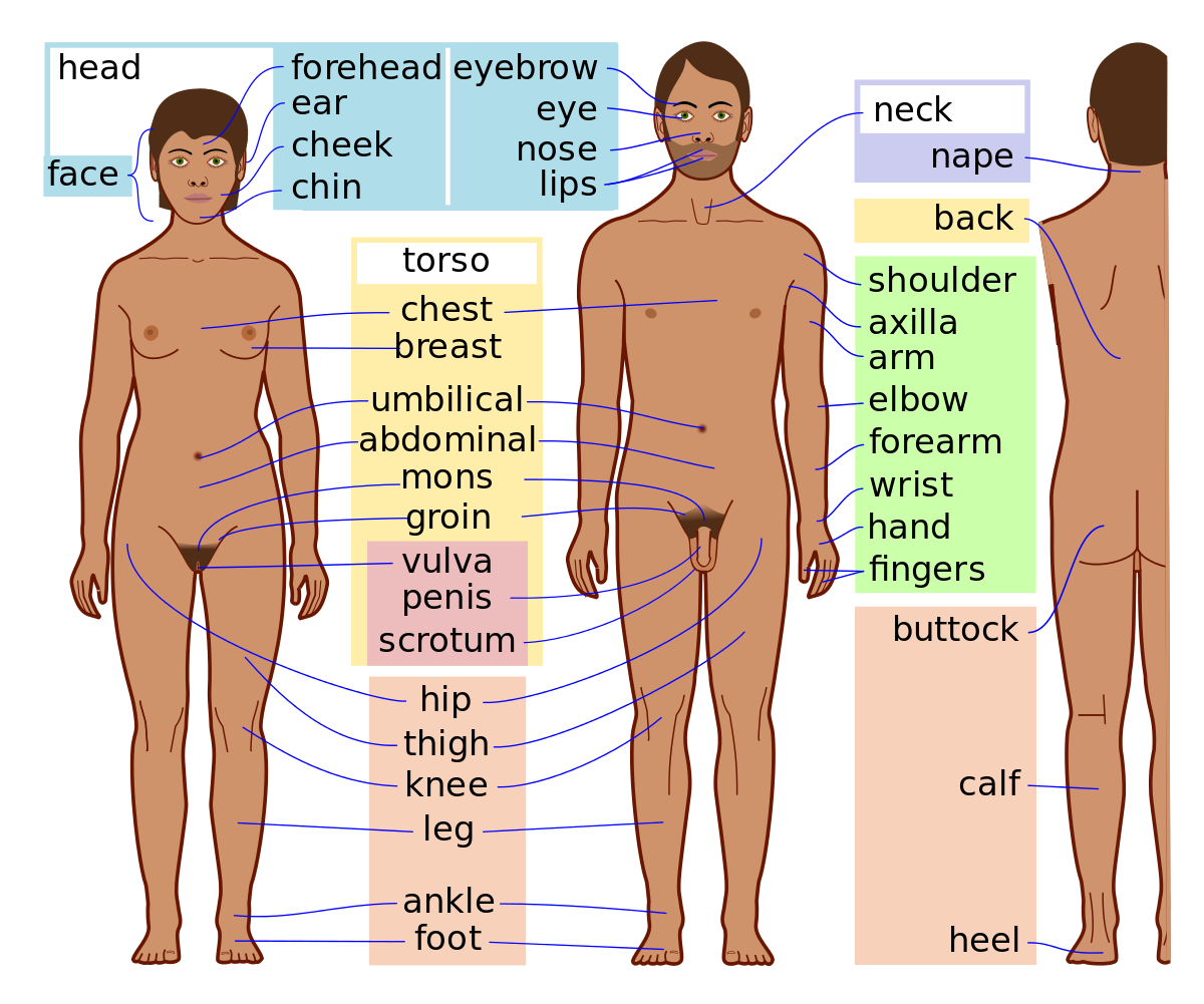 Anatomy vector full body. Girls parts clipart images