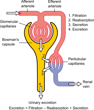 nephron drawing physics