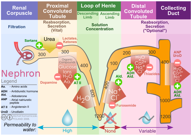 Nephron drawing arrow. Difference between filtration and