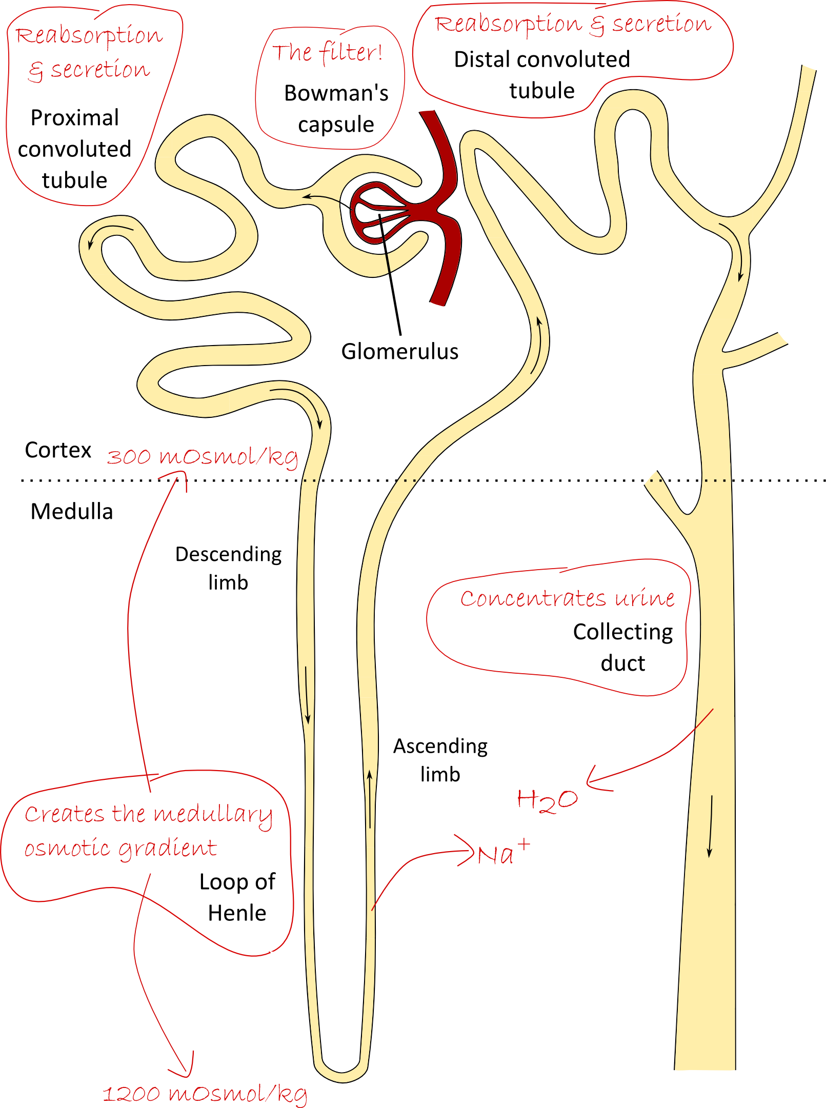 Nephron drawing basic. Natalies casebook tag overview