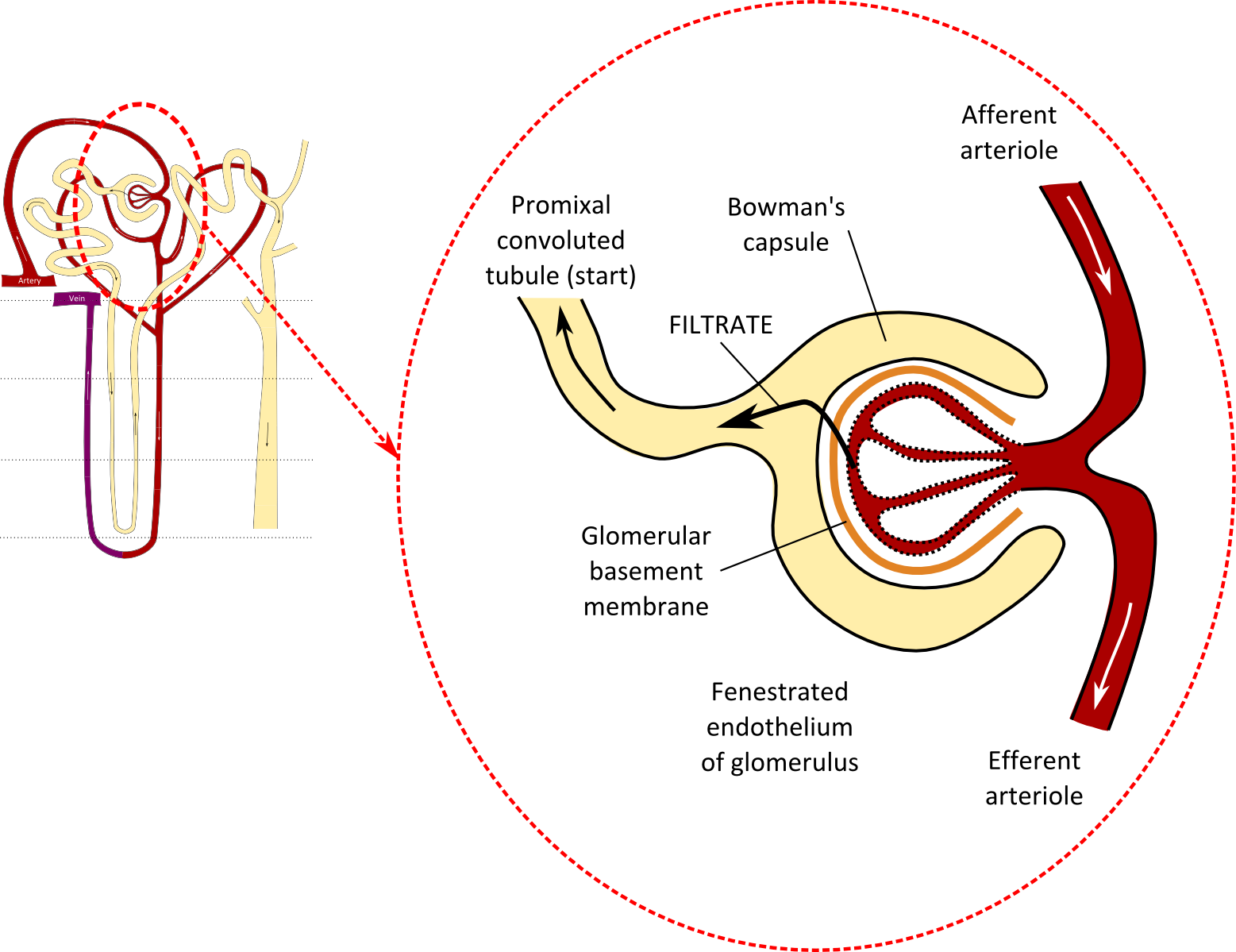 Nephron drawing diuretic. Natalies casebook tag overview