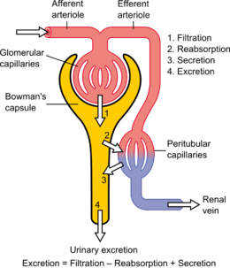 Nephron drawing easy. Wikipedia fig schematic diagram