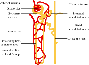 Nephron drawing labeled. Explain the structure of