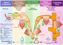 Nephron drawing pdf. Wikipedia fig diagram outlining