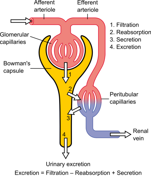 Nephron drawing structure. Wikiwand fig schematic diagram