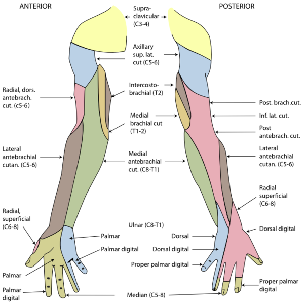 Nerves of the spine png. A dermatome is an