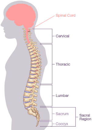 Nerves of the spine png. Trapped nerve in back