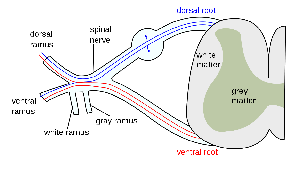 Nerves of the spine png. Spinal nerve wikipedia