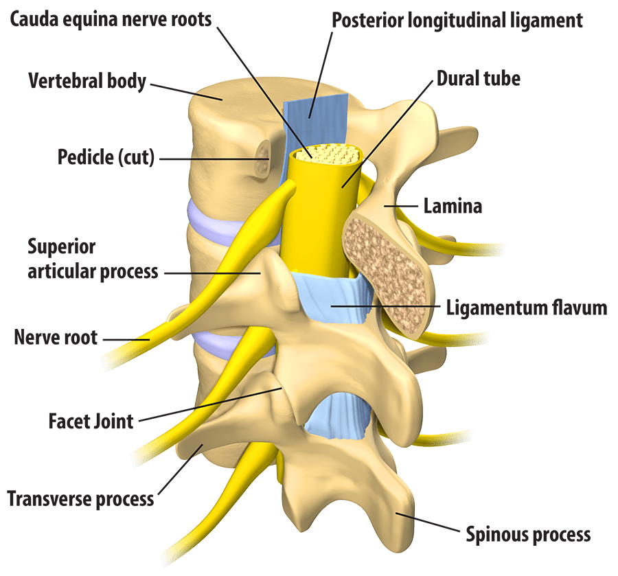 Nerves of the spine png. Spinal minimally invasive surgery