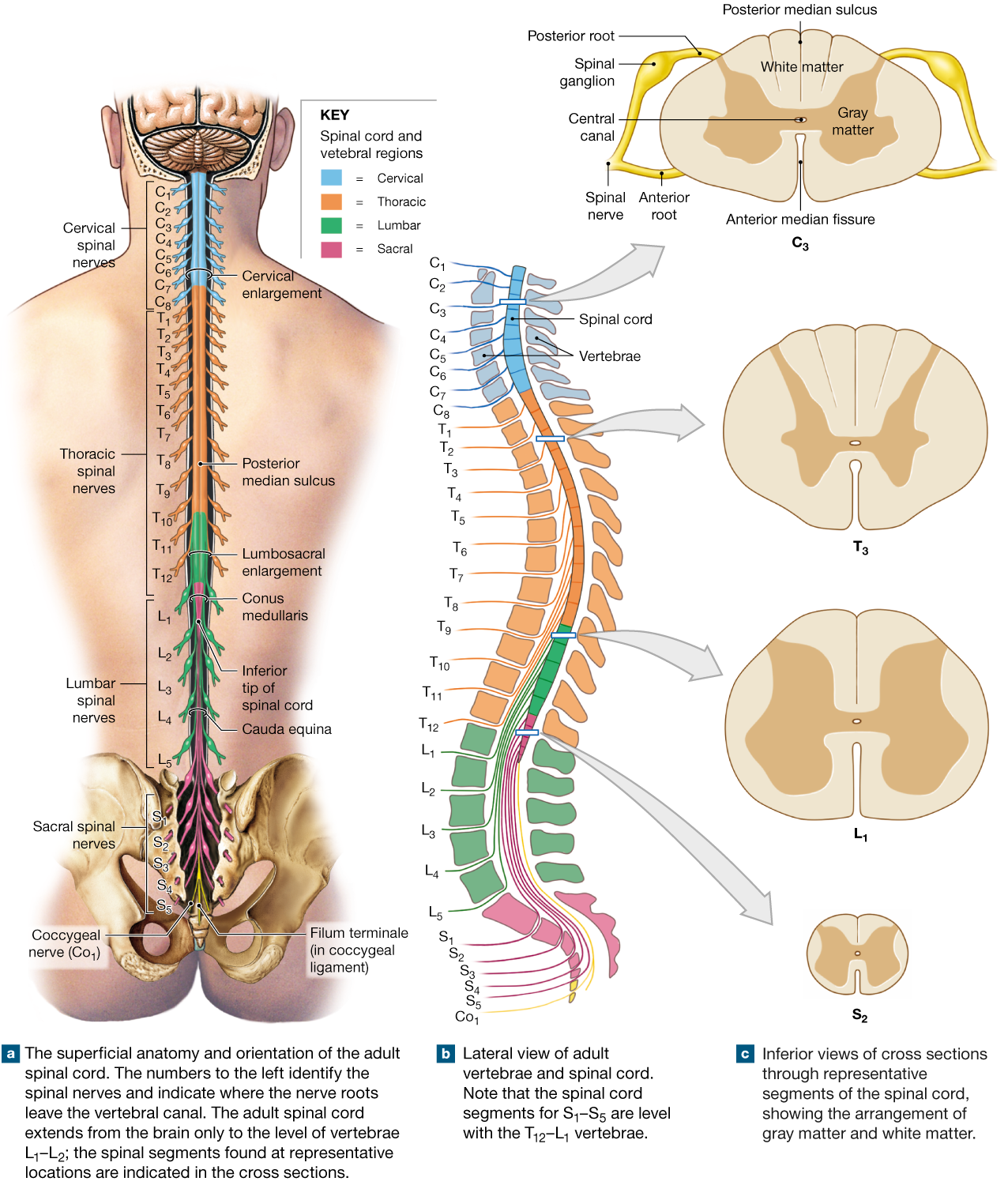 Nerves of the spine png. Spinal cord is