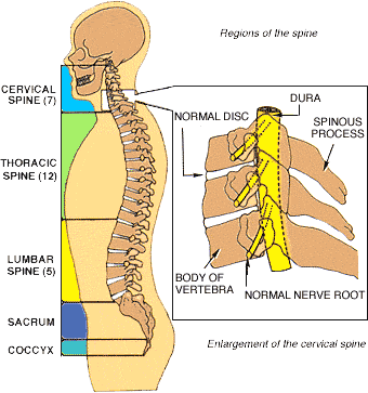 Nerves of the spine png. Conditions radiculopathy orthopaedic surgeons