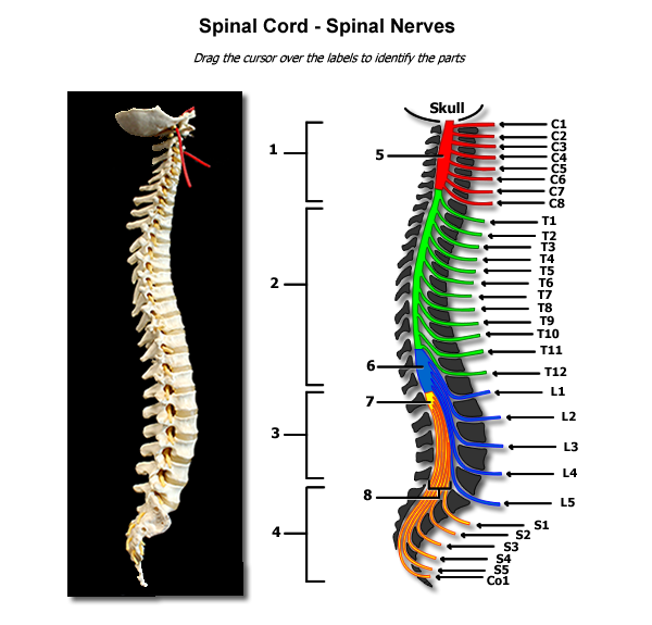 Nerves of the spine png. Human anatomy physiology spinal