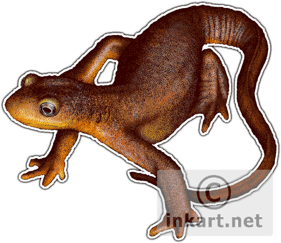 Newt drawing. Wildlife art salamanders and