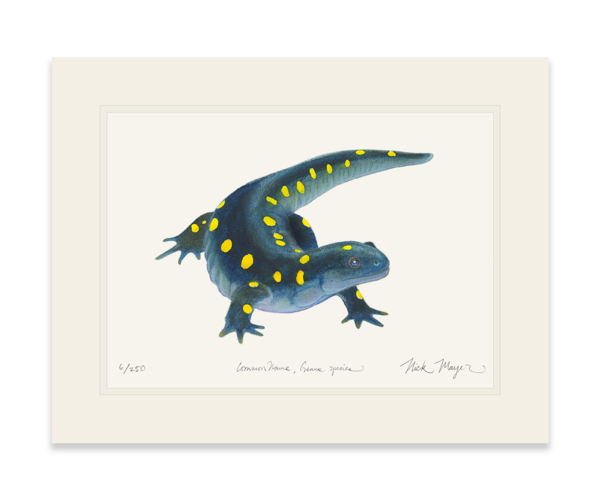 Newt drawing red eft. Yellow spotted salamander nick