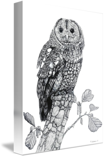 Noir drawing owl. Tawny cropped by paul