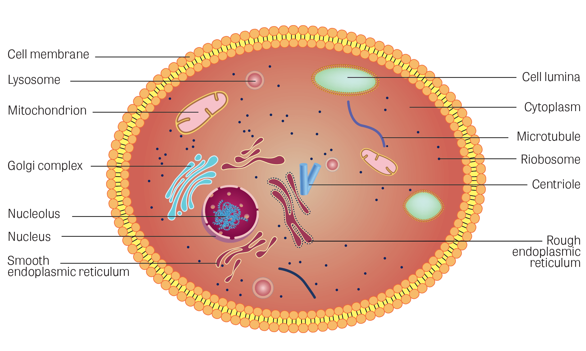 Nucleus transparent cell. Toxtutor cells illustration of