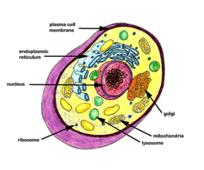 Nucleus transparent human cell. How do healthy cells