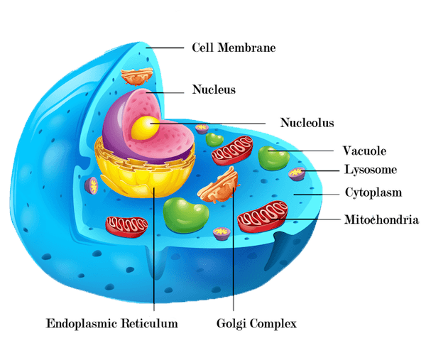 Nucleus transparent organelle. Collection of free cellular