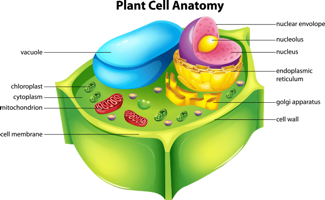 Nucleus transparent plant cell. Illustration showing the anatomy