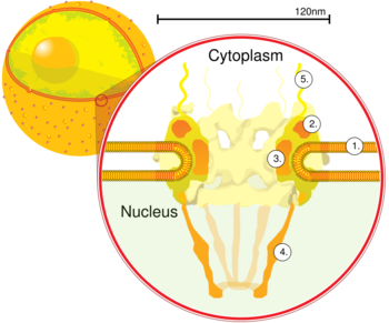 Nucleus transparent pore. Nuclear wikipedia nuclearpore croppng
