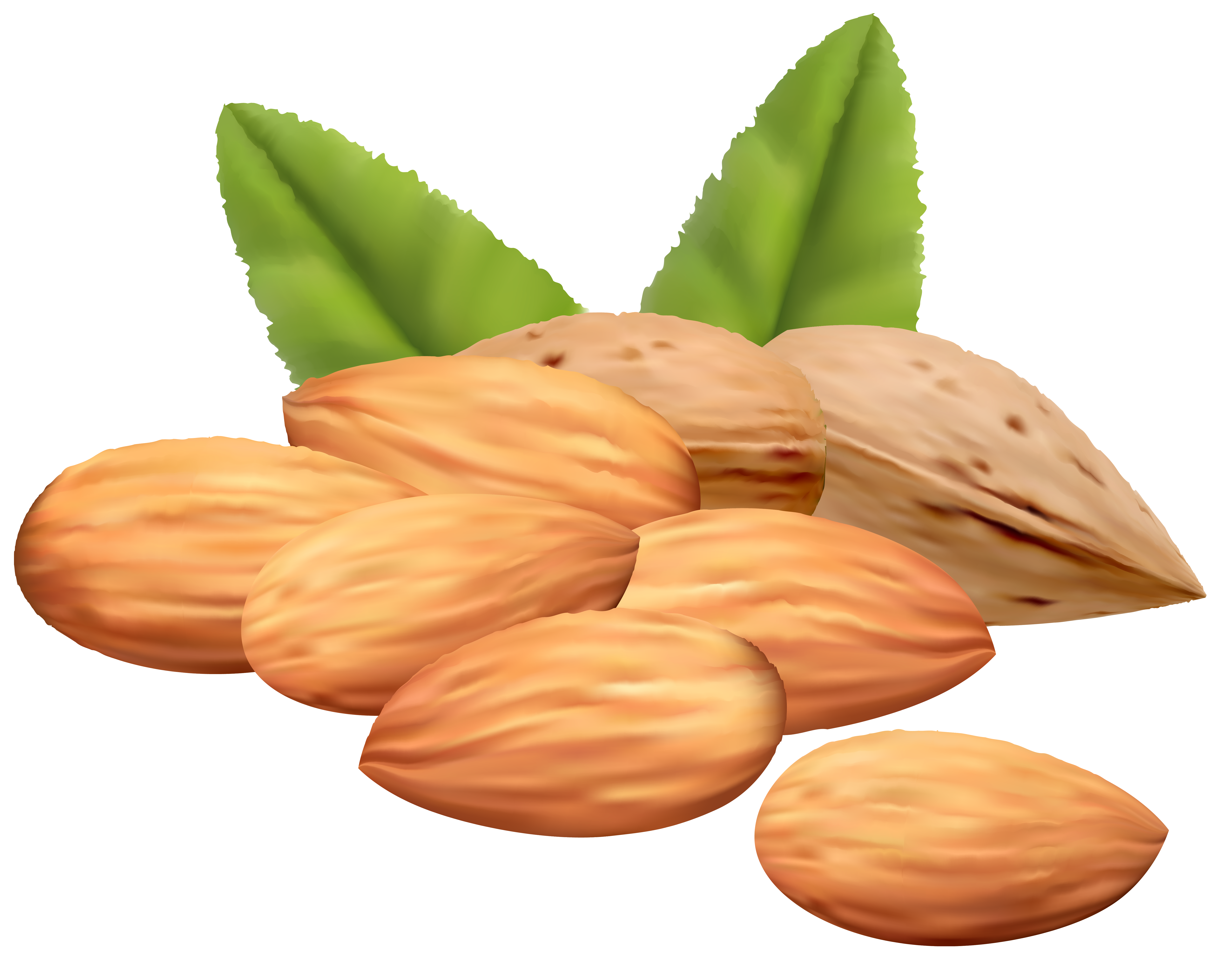 almond vector leaf