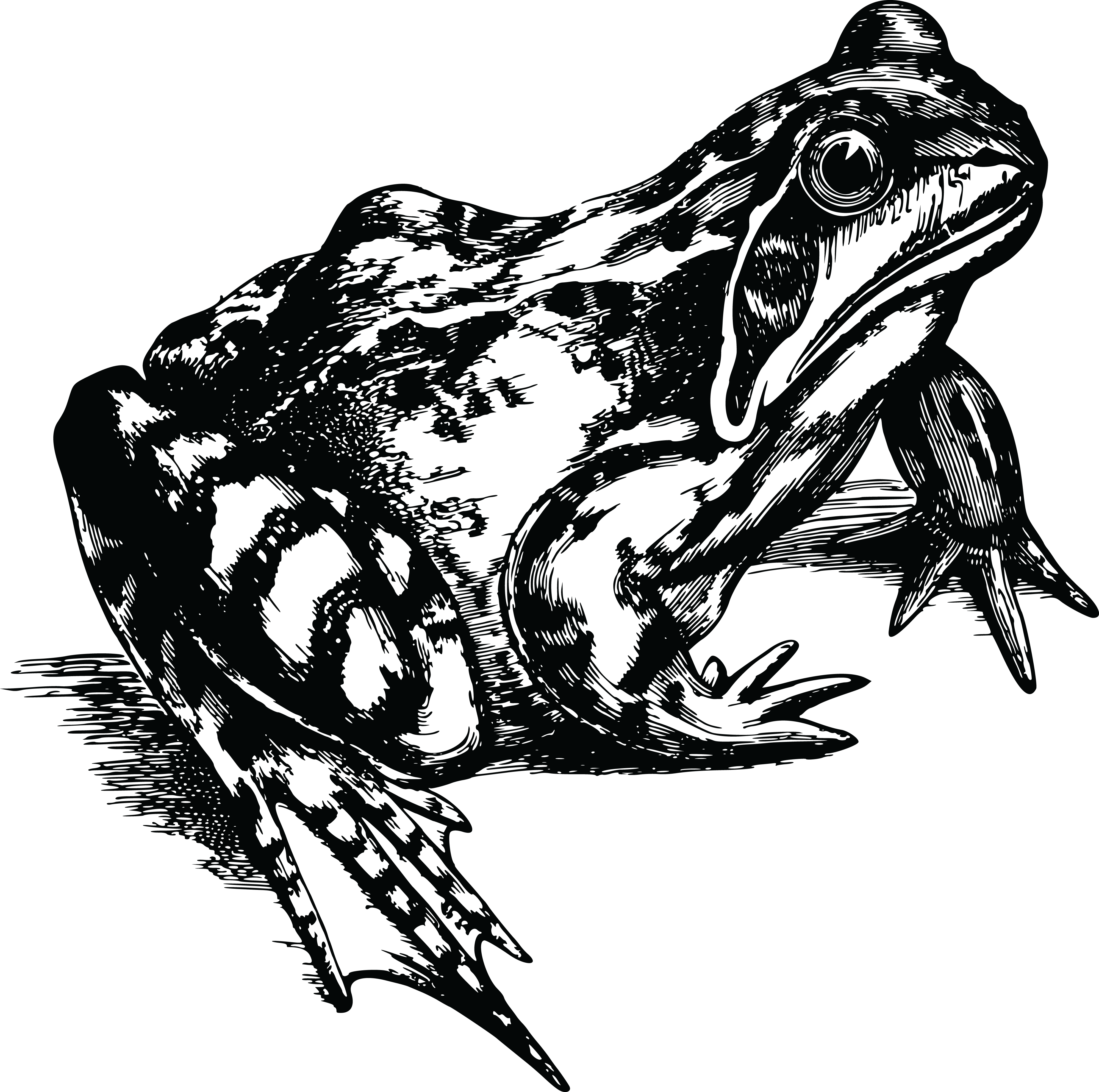 Frogs drawing black and white. Tree frog png transparent