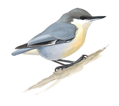 Nuthatches. Audubon center at debs