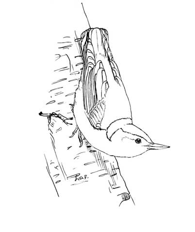 Nuthatches. White breasted nuthatch coloring