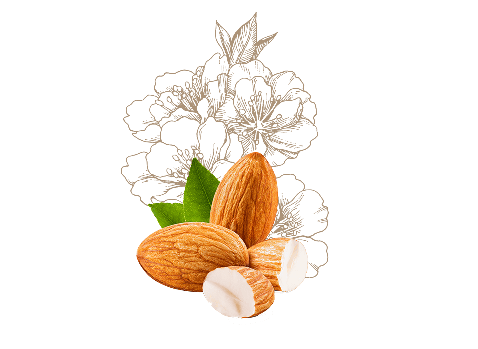 Nuts drawing oil seed. Cosnature productdetails helianthus annuus