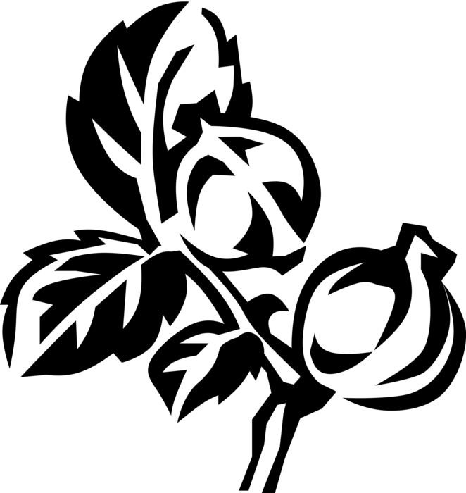 Nuts vector illustration. Hickory tree leaves and